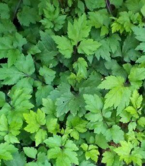 """Purwoceng dodává energii do života, ne nardamo se jí v Indonésii říká bylinná """"Viagra"""". Byliny obsažené z bylinnémm oleji Kutus Kutus"""